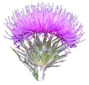 A Thistle